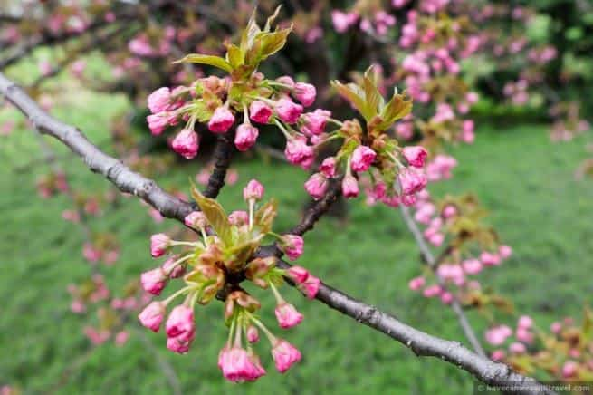 wpid5068 Washington DC Cherry Blossoms April 15 2014 26 COPYRIGHT 655x436 - About the Kwanzan Cherry Blossoms