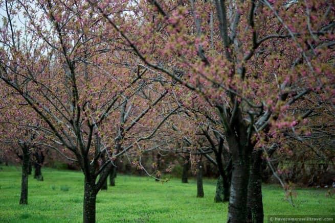 wpid5072 Washington DC Cherry Blossoms April 15 2014 28 COPYRIGHT 655x437 - About the Kwanzan Cherry Blossoms