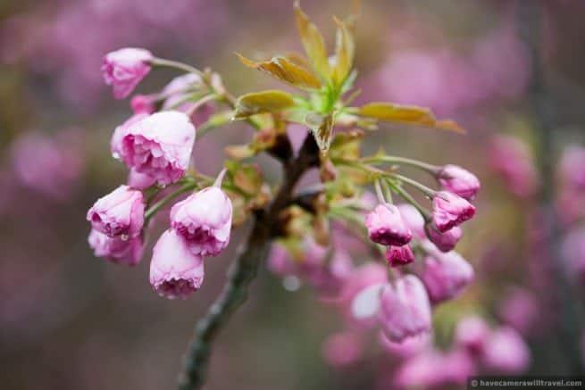 wpid5074 Washington DC Cherry Blossoms April 15 2014 29 COPYRIGHT 655x437 - About the Kwanzan Cherry Blossoms