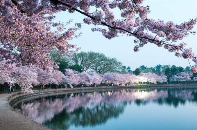 Cherry Blossoms in Washington DC Before Dawn COPYRIGHT HAVECAMERAWILLTRAVEL.COM  678x450 - What to Expect, When
