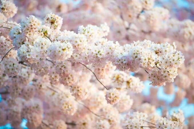 Cherry Blossoms in Washington DC COPYRIGHT HAVECAMERAWILLTRAVEL.COM 1 678x452 - What to Expect, When