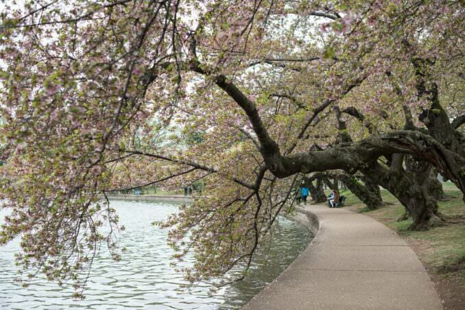 Cherry Blossoms on April 15 2013 COPYRIGHT HAVECAMERAWILLTRAVEL.COM 2 678x452 - What to Expect, When