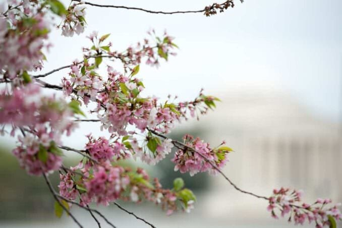Cherry Blossoms on April 15 2013 COPYRIGHT HAVECAMERAWILLTRAVEL.COM 3 678x452 - What to Expect, When
