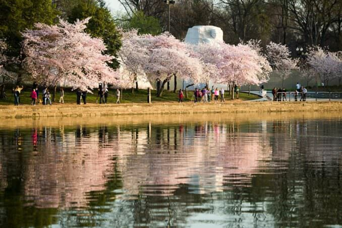 MLK Memorial and Cherry Blossoms in Washington DC COPYRIGHT HAVECAMERAWILLTRAVEL.COM  678x452 - What to Expect, When