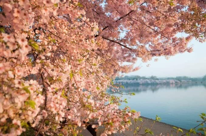 Pink Cherry Blossoms in Washington DC COPYRIGHT HAVECAMERAWILLTRAVEL.COM  678x450 - What to Expect, When
