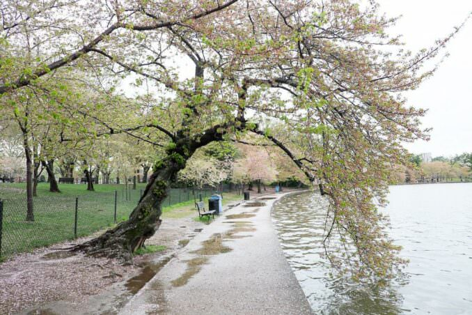 Washington DC Cherry Blossoms April 15 2014 COPYRIGHT HAVECAMERAWILLTRAVEL.COM 3 678x452 - What to Expect, When
