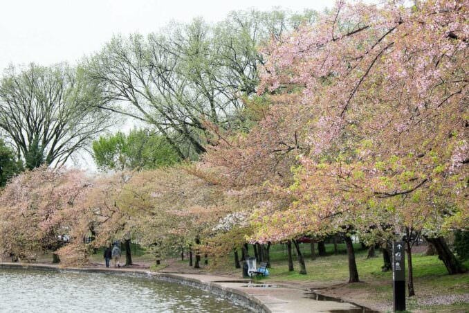Washington DC Cherry Blossoms April 15 2014 COPYRIGHT HAVECAMERAWILLTRAVEL.COM 5 678x452 - What to Expect, When