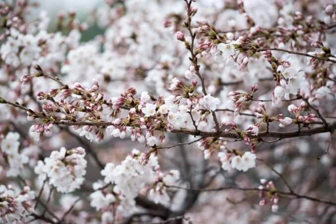 Washington DC Cherry Blossoms April 7 2014 COPYRIGHT HAVECAMERAWILLTRAVEL.COM 2 678x452 - What to Expect, When