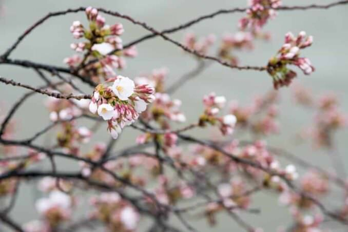 Washington DC Cherry Blossoms April 7 2014 COPYRIGHT HAVECAMERAWILLTRAVEL.COM  678x452 - What to Expect, When
