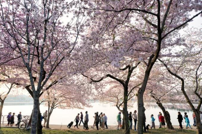 Washington DC Cherry Blossoms COPYRIGHT HAVECAMERAWILLTRAVEL.COM 21 678x452 - What to Expect, When