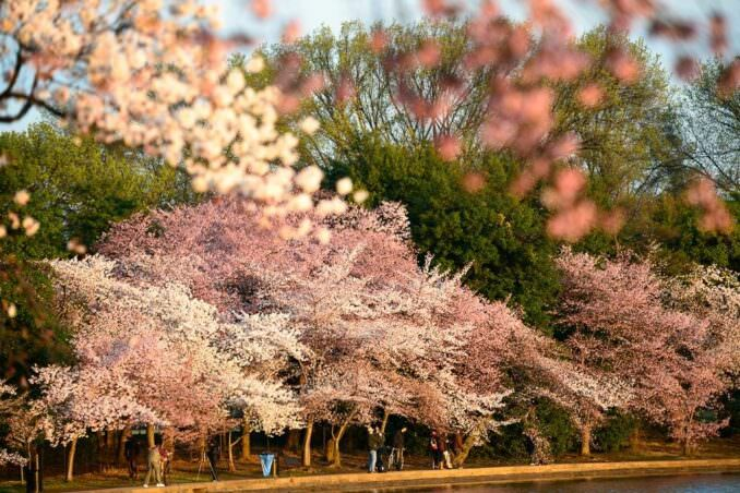 Washington DC Cherry Blossoms COPYRIGHT HAVECAMERAWILLTRAVEL.COM  678x452 - What to Expect, When