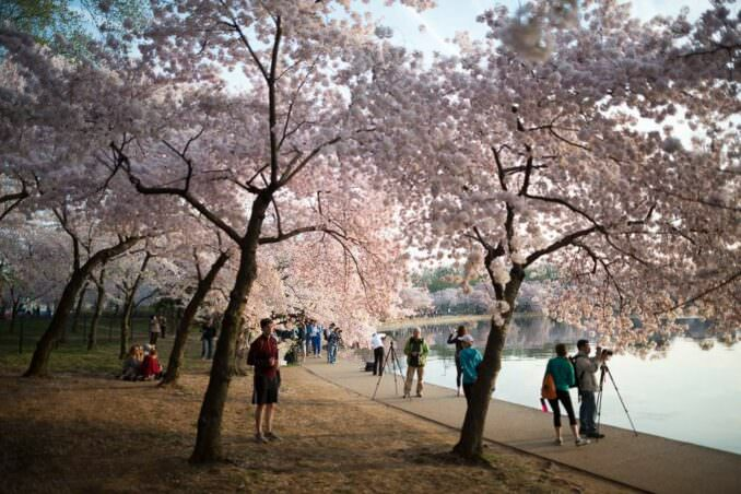 Washington DC Cherry Blossoms COPYRIGHT HAVECAMERAWILLTRAVEL.COM 1 678x452 - What to Expect, When