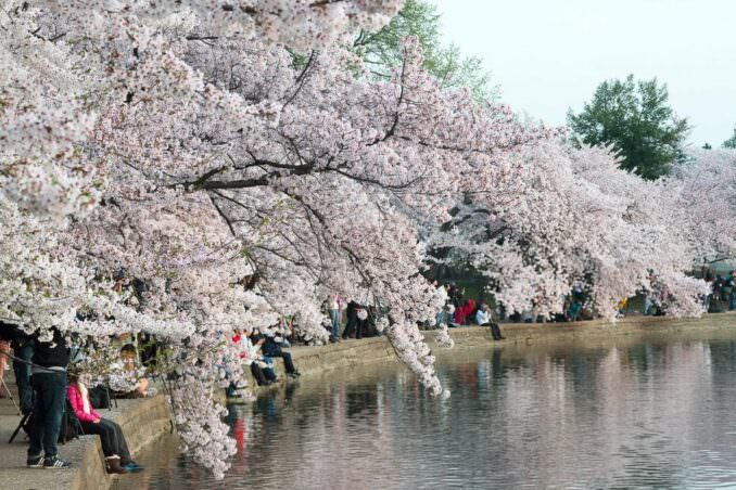 Washington DC Cherry Blossoms COPYRIGHT HAVECAMERAWILLTRAVEL.COM 2 678x452 - What to Expect, When