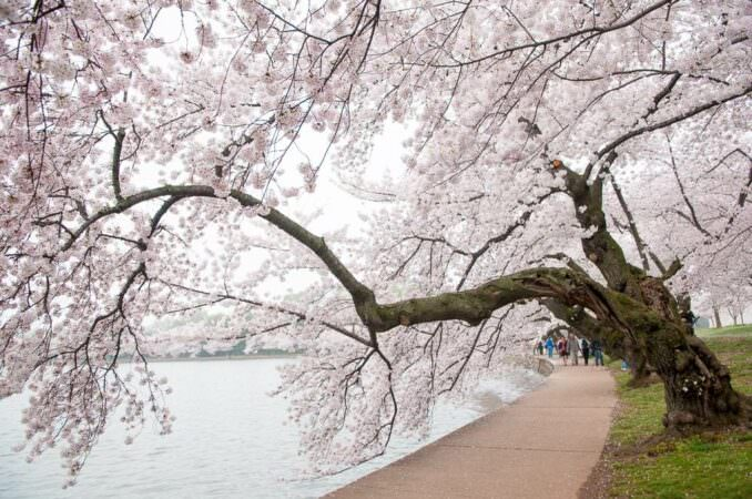 Washington DC Cherry Blossoms Peak Bloom COPYRIGHT HAVECAMERAWILLTRAVEL.COM  678x450 - What to Expect, When