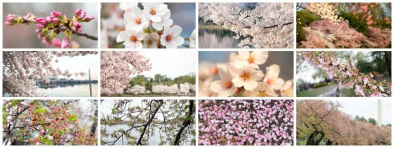 cherry blossom progression 800x300 - What to Expect, When