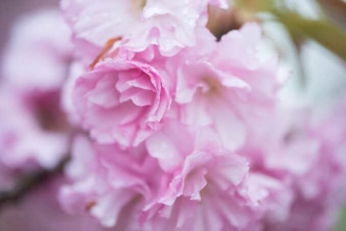 Kwanzan Cherry Blossoms 11 COPYRIGHT HAVECAMERAWILLTRAVEL.COM  678x453 - About the Kwanzan Cherry Blossoms