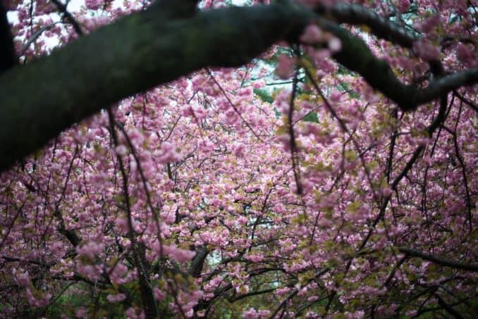 Kwanzan Cherry Blossoms 15 COPYRIGHT HAVECAMERAWILLTRAVEL.COM  678x453 - About the Kwanzan Cherry Blossoms