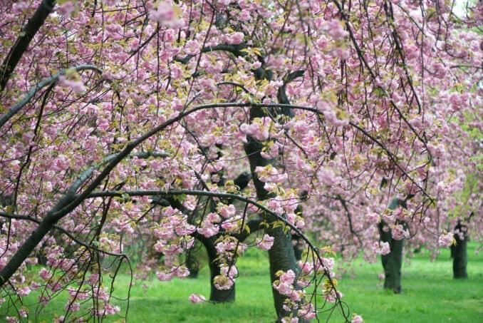 Kwanzan Cherry Blossoms 21 COPYRIGHT HAVECAMERAWILLTRAVEL.COM  678x453 - About the Kwanzan Cherry Blossoms
