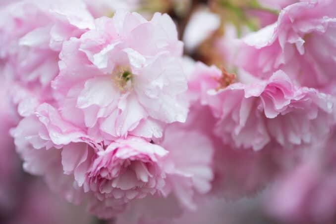 Kwanzan Cherry Blossoms 31 COPYRIGHT HAVECAMERAWILLTRAVEL.COM  678x453 - About the Kwanzan Cherry Blossoms