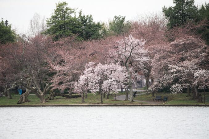 Cherry Blossoms Washington DC March 20 2016 08 678x453 - What to Expect, When