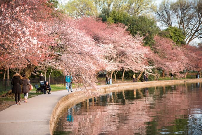 Cherry Blossoms Washington DC March 22 2016 12 678x453 - What to Expect, When