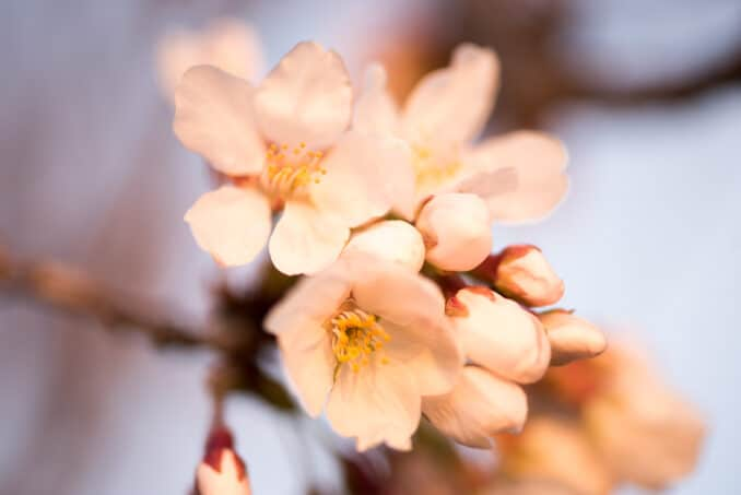 Cherry Blossoms Washington DC March 22 2016 13 678x453 - What to Expect, When
