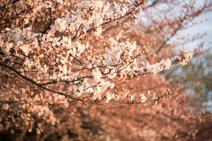 Cherry Blossoms Washington DC March 22 2016 14 678x453 - What to Expect, When