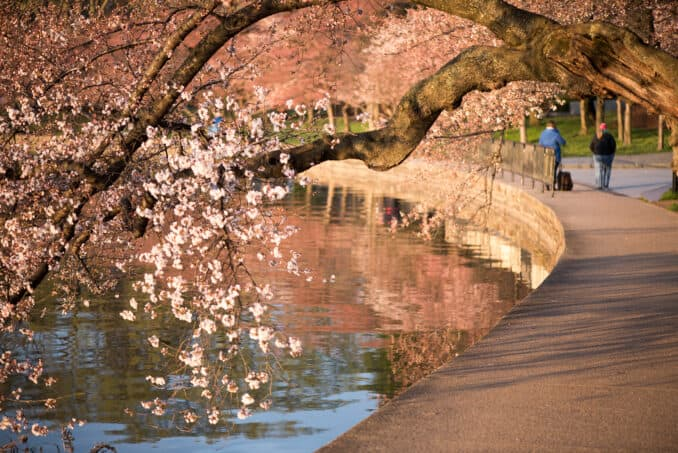 Cherry Blossoms Washington DC March 22 2016 24 678x453 - What to Expect, When