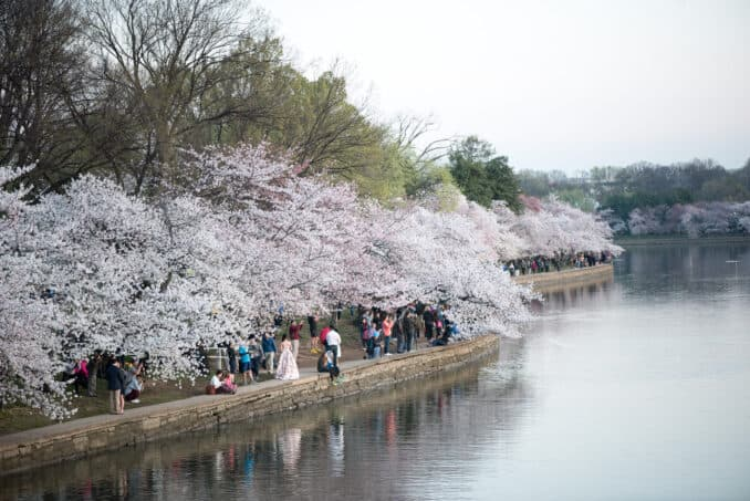 Cherry Blossoms Washington DC March 24 2016 12 678x453 - What to Expect, When