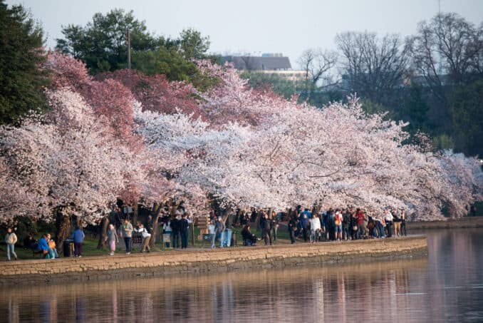 Cherry Blossoms Washington DC March 24 2016 19 678x453 - What to Expect, When