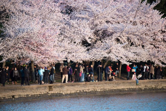 Cherry Blossoms Washington DC March 26 2016 14 678x453 - What to Expect, When