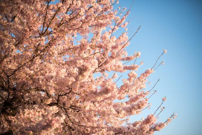 Cherry Blossoms Washington DC March 26 2016 20 678x453 - What to Expect, When