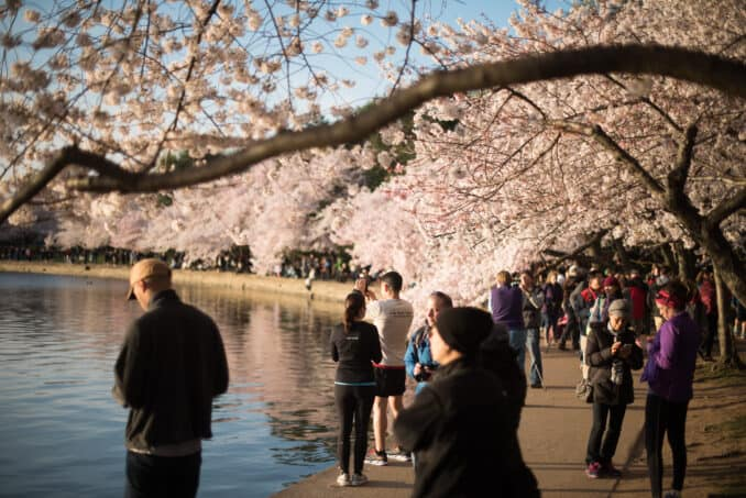 Cherry Blossoms Washington DC March 26 2016 23 678x453 - What to Expect, When