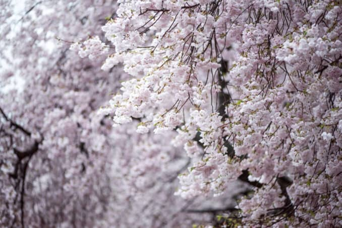 Cherry Blossoms Washington DC March 28 2016 17 678x453 - What to Expect, When