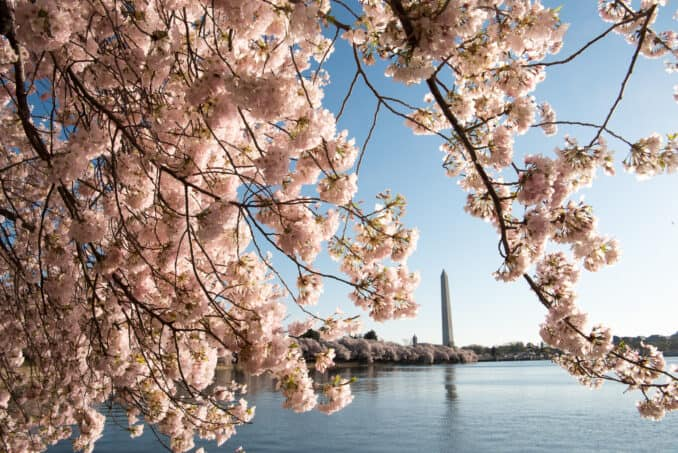 Cherry Blossoms Washington DC March 29 2016 267 678x453 - What to Expect, When