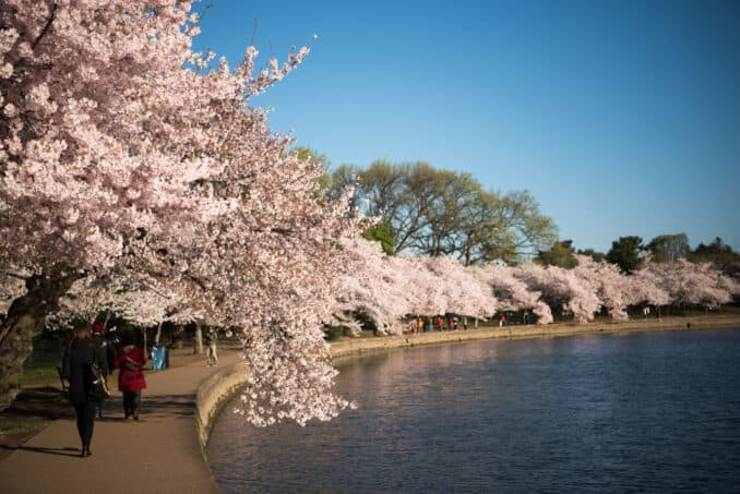 Cherry Blossoms Washington DC March 29 2016 271 678x453 - What to Expect, When