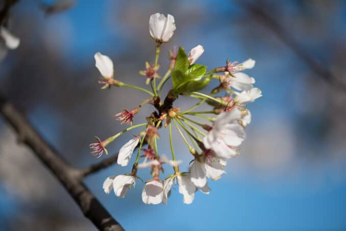 Cherry Blossoms Washington DC March 30 2016 06 678x453 - What to Expect, When