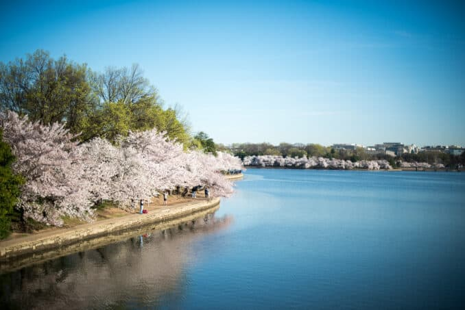 Cherry Blossoms Washington DC March 30 2016 19 678x453 - What to Expect, When