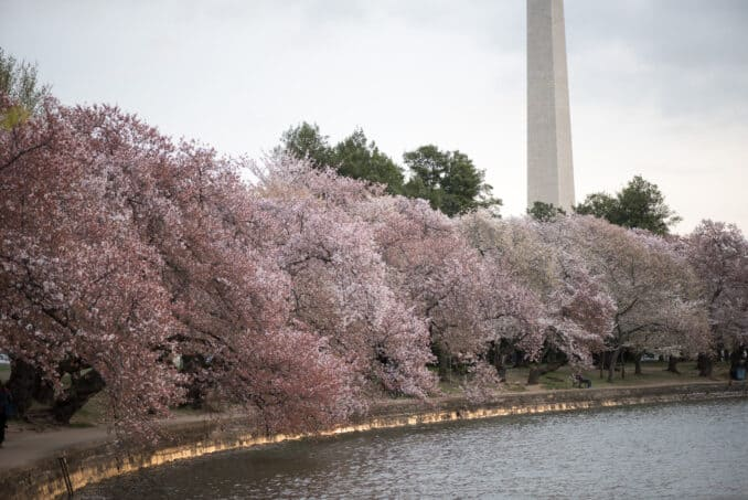 Cherry Blossoms Washington DC April 01 2016 30 678x453 - What to Expect, When