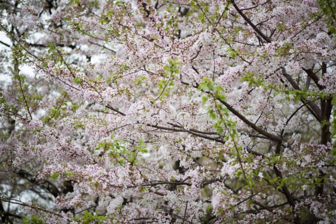 Cherry Blossoms Washington DC April 01 2016 47 678x453 - What to Expect, When
