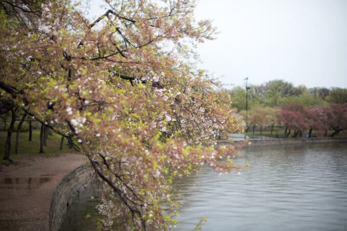 Cherry Blossoms Washington DC April 02 2016 24 678x453 - What to Expect, When