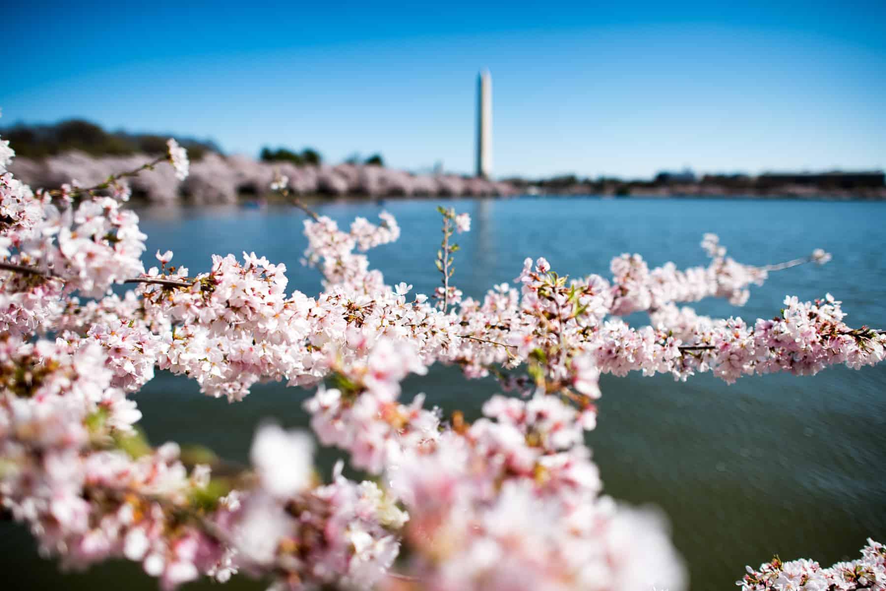 Cherry Blossom Dc 2019 Peak Bloom Forecasts Cherry