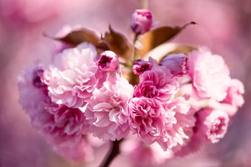 kwanzan cherry blossoms 09 800x534 - About the Kwanzan Cherry Blossoms