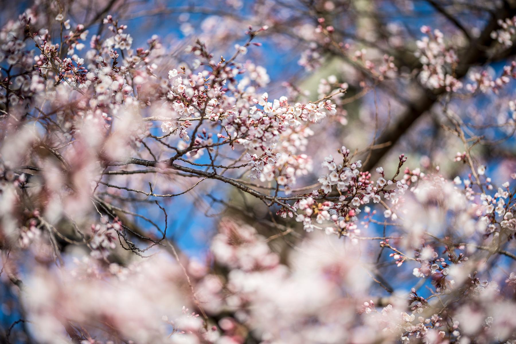 Washington Dc Cherry Blossom Watch 2019