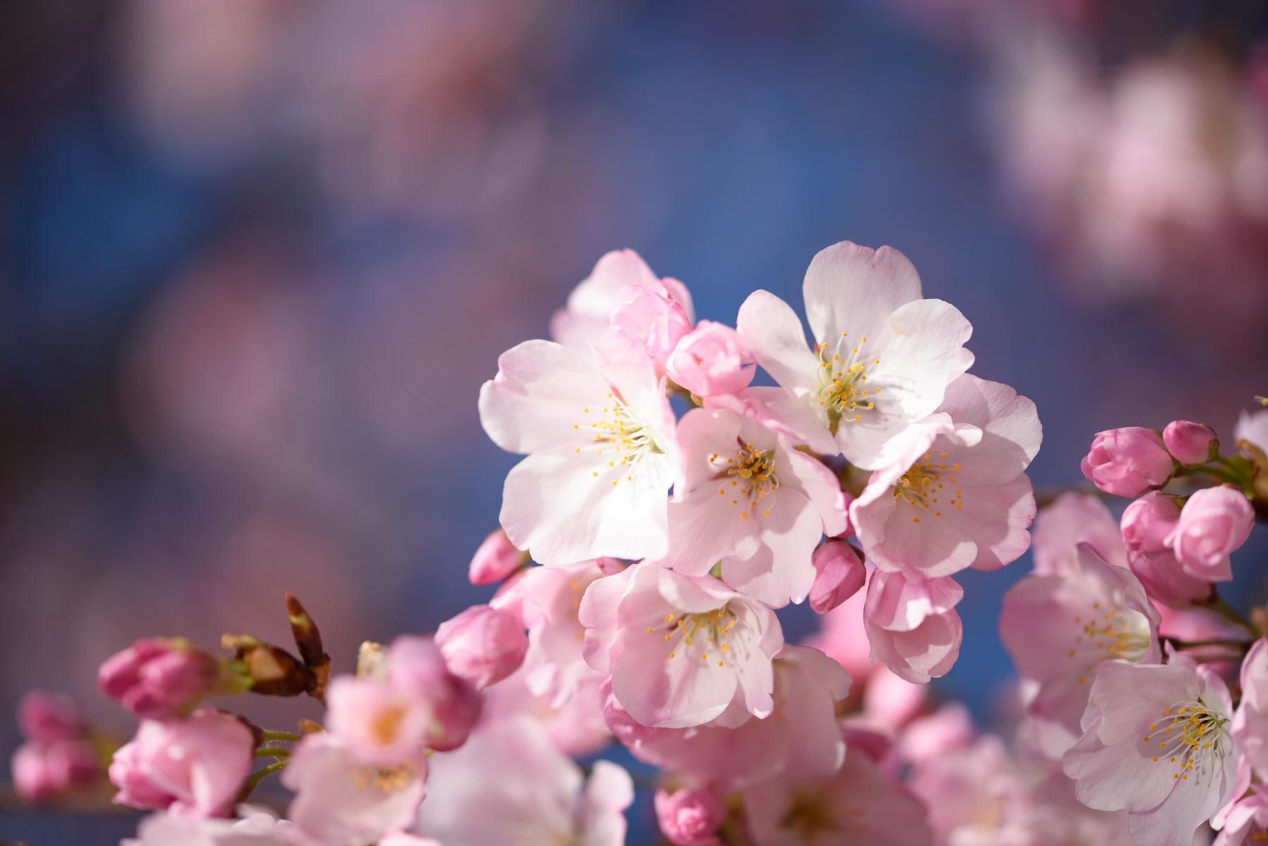 2018 Cherry Blossom Watch Updates Washington Dc
