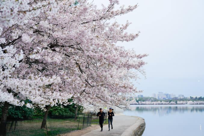 dc cherry blossom watch update april 12 2018 11 678x452 - What to Expect, When