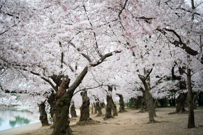 dc cherry blossom watch update april 12 2018 21 678x452 - What to Expect, When