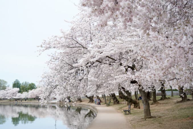 dc cherry blossom watch update april 12 2018 24 678x452 - What to Expect, When