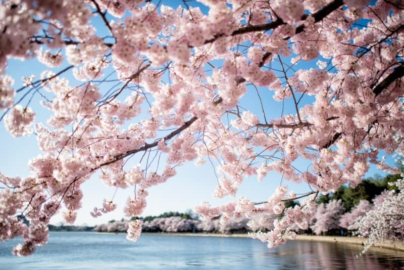 cherry blossoms washington dc april 01 2019 418x 800x534 - 2022 Cherry Blossom Peak Bloom Forecasts