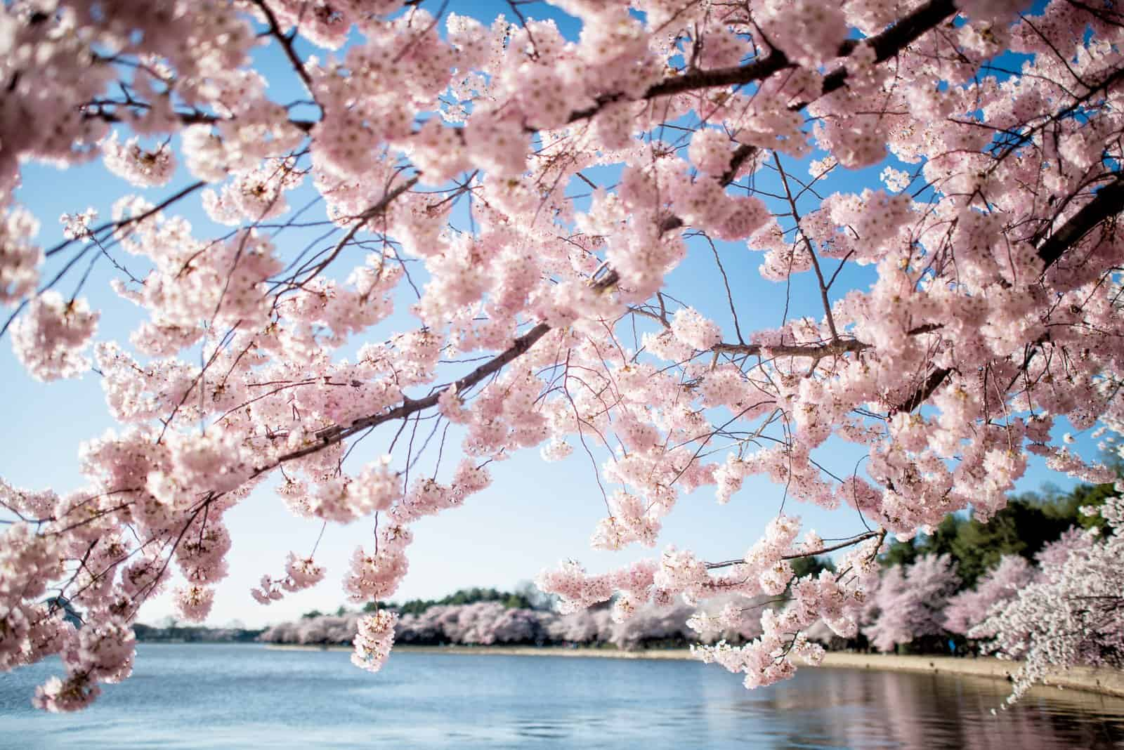 Cherry Blossom Dc 2019 Peak Bloom Forecasts Cherry Blossom Watch